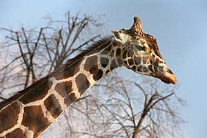 Sad Giraffe Royalty Free Stock Photography - Image: 2195427