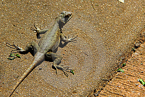 Lizard On The Ground Royalty Free Stock Photo - Image: 21929825