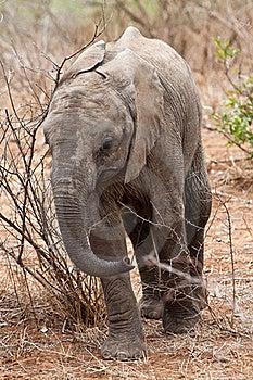 Baby Elephant Walking Stock Photography - Image: 21947092
