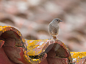 A Black Redstart On The Roof Royalty Free Stock Images - Image: 21948509