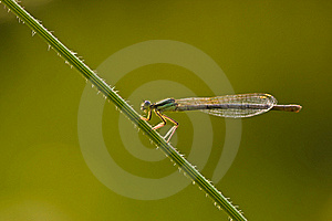 Damselfly Royalty Free Stock Image - Image: 21949156