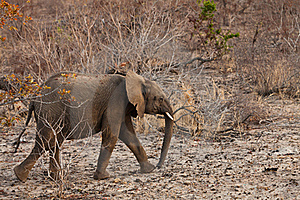 Elephant Walking  Between The Bushes Royalty Free Stock Photo - Image: 21949785