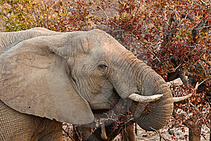 Elephant Eating Leaves From A Tree Royalty Free Stock Photo - Image: 21949805