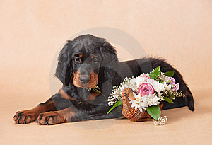 Setter's Puppy With Flowers Stock Photo - Image: 21953420