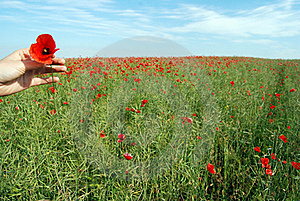 Field Of Poppies Stock Image - Image: 21954011