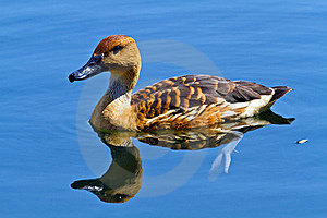 Wild Duck In The Lake Stock Photography - Image: 21969822