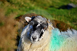 Irish Black Face Sheep Stock Photography - Image: 21971892