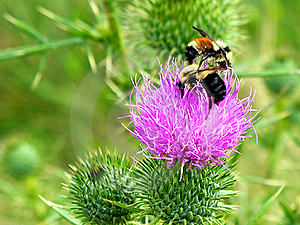 Bees On A Bull Thistle Stock Images - Image: 21978394
