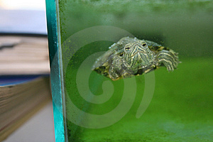 Turtle In Aquarium Stock Image