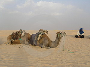 Man And Camels Stock Photography
