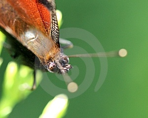 Butterfly Portrait Royalty Free Stock Photo