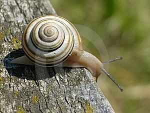 Snail Free Stock Photography