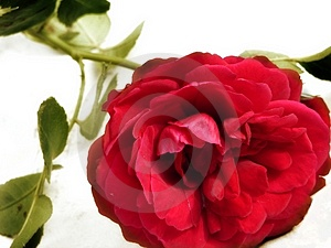 Rose Free Stock Photography