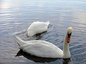 A Pair Of Swans Free Stock Photos