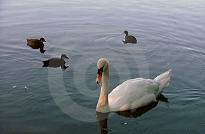 A swan swimming with coots Stock Image