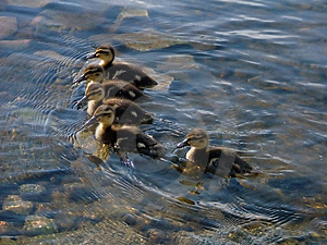 Group Of Little Ducklings Free Stock Image