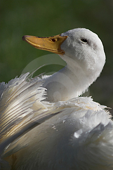 White Goose relaxing Royalty Free Stock Images