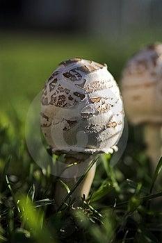 Mushroom Forming Stock Photography
