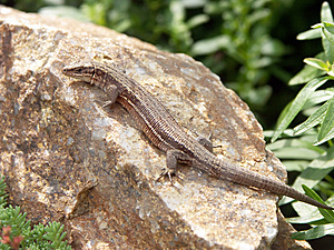 Lizard Free Stock Photos
