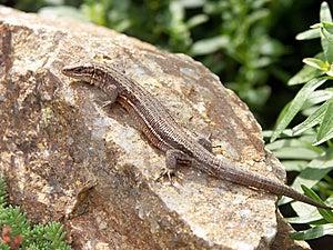 Lizard Free Stock Photos