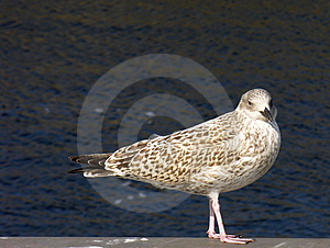 Seagull Free Stock Image