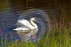 Swan Free Stock Photo