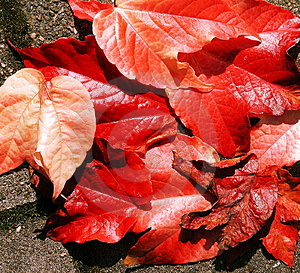 Red Leaves Free Stock Photos
