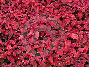 Red Leaf Background Stock Photos