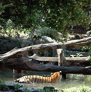 Tigri che si osservano Immagini Stock