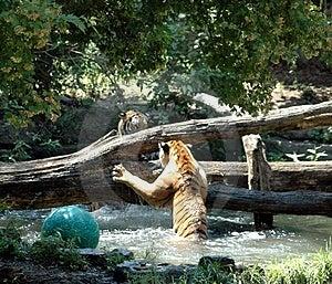 Tigri che iniziano a combattere Fotografia Stock Libera da Diritti