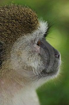 Monkey Free Stock Photo