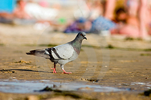 Pigeon On Beach Stock Image