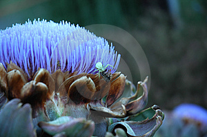 Artichoke Thistle Royalty Free Stock Images