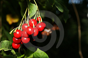 Berry Free Stock Photos