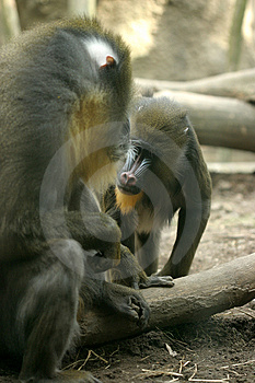 Baboons Free Stock Photo