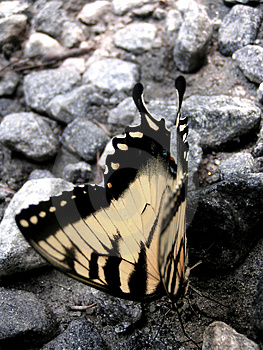 Butterfly Closeup On Gravel Free Stock Image