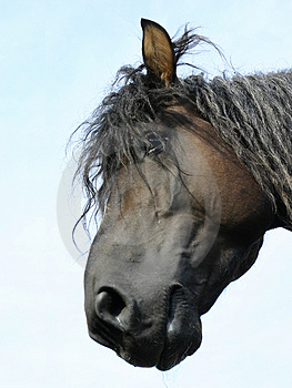 Russian shire horse Royalty Free Stock Photo