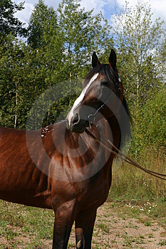 A Russian Trotter Free Stock Photography