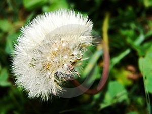 Blowball Free Stock Photography