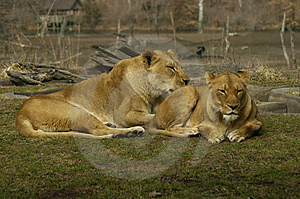 Lioness Pair Royalty Free Stock Photos