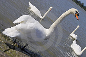 Gracefull white swan Stock Image