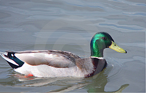 Canadian duck Stock Photo