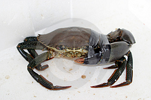 Hurt Crab Free Stock Image