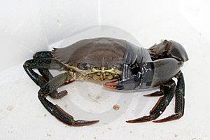 Hurt Crab Royalty Free Stock Image