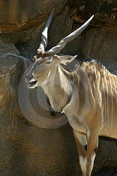 Antelope Free Stock Images
