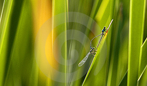 Dragonflies Mating Stock Photography