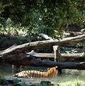 Tigers Eyeing Each Other