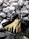Butterfly Closeup on Gravel