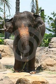 Elephant Walking Stock Image - Image: 2203011