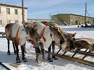 Oleni Royalty Free Stock Image - Image: 2208686